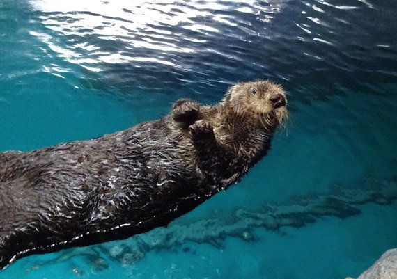 国内の水族館のラッコあと12頭に ピーク時から9割減 ハフポスト