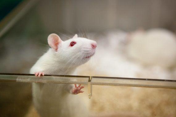 遺伝子編集で生きたマウスからHIVのDNA除去に成功 他の病気にも有効?
