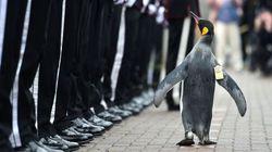 ペンギンの准将「ニルス・オーラヴ卿」がノルウェー軍を閲兵する凛々しい姿(画像)