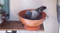 ニューヨークのアパートに侵入したハト、パスタ用ざるの中で巣を作る(画像)