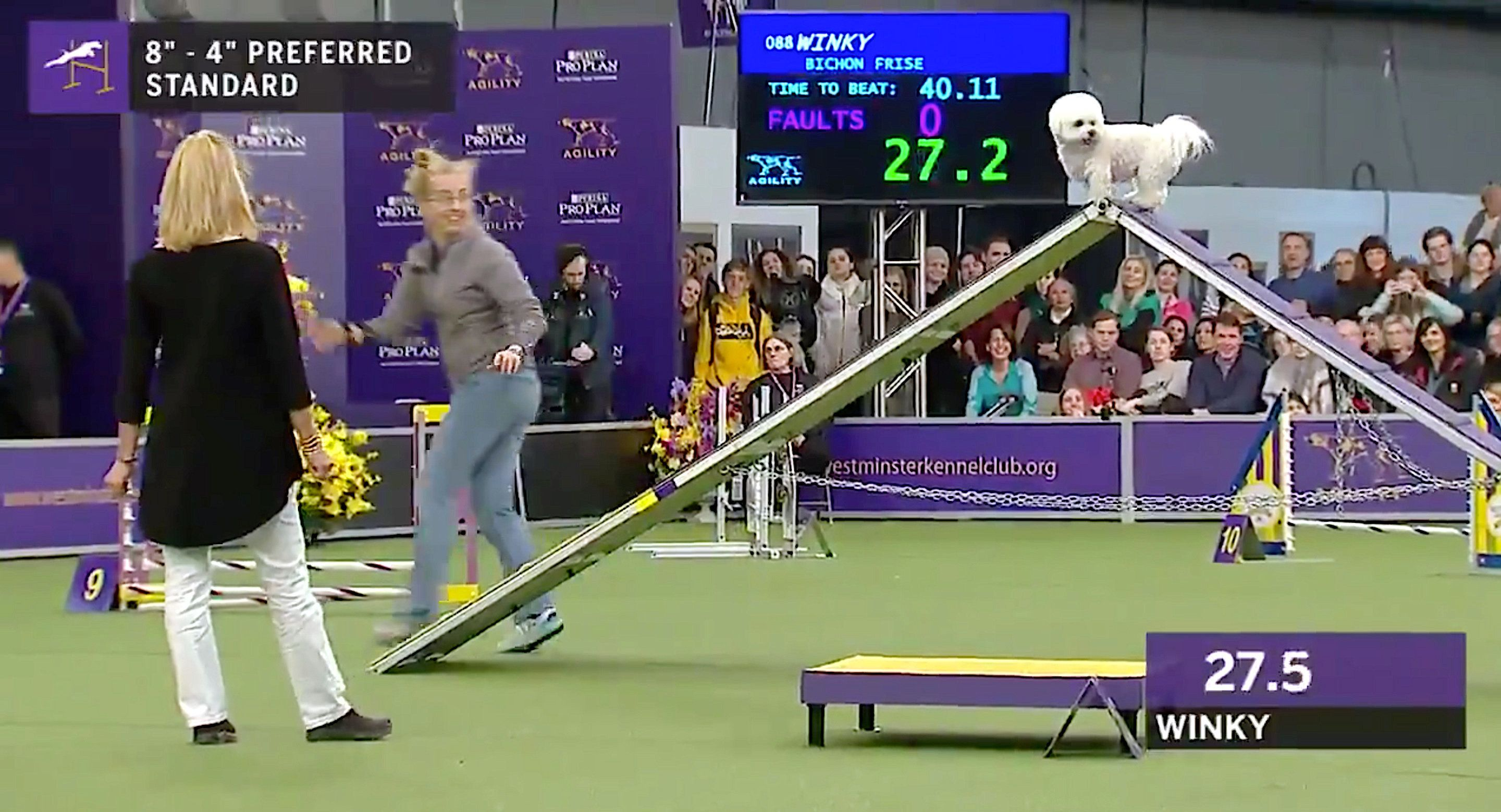 Read: Winky The Bichon Frise Loses At Westminster Agility But Wins The Internet