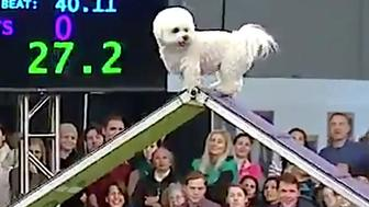 Winky, a Bichon Frise, competes in agility at the Westminster Kennel Club Dog Show.