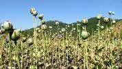 北朝鮮で進む薬物まん延 自宅でも、協同農場でもアヘンを栽培 危険承知で密売、使用が横行 呉