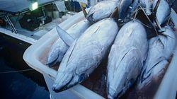 クロマグロ漁獲規制を強化 14
