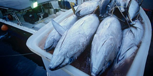 Tuna fish in container on fishing boat, dawn, Cairns,