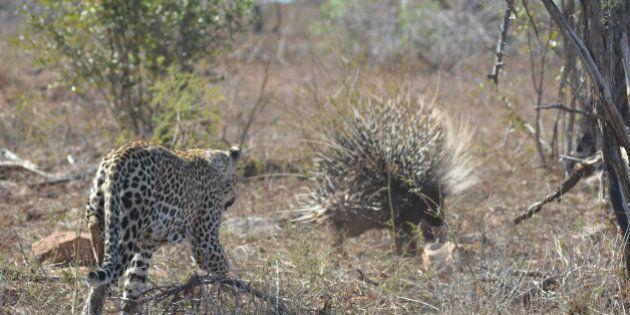 *** EXCLUSIVE *** KRUGER NATIONAL PARK; SOUTH AFRICA - 13 OCTOBER: A leopard hunts a porcupine in the...