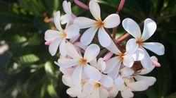 ハワイの人々を魅了してやまないKIKAIDAとは?-「ハワイと日本、人々の歴史」第3回