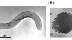細菌が磁石の形を制御する仕組み解明