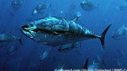 太平洋クロマグロの運命が決まる?混迷のIATTC会合始まる