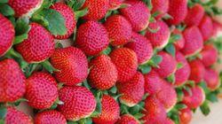 「いちごさん」デビュー 佐賀県が7年かけて「理想のいちご」新品種を開発