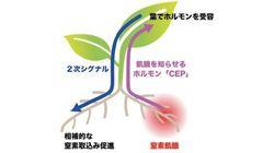 植物が栄養分を効率よく取り込む仕組みを名古屋大が発見