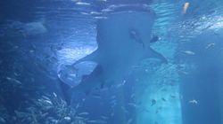 ジンベエザメの大迫力食事シーンを目の前で。海水ごと餌をまる飲み