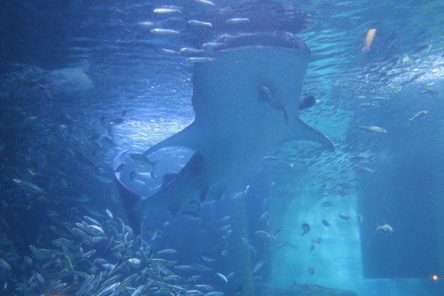 大水槽のジンベエザメ