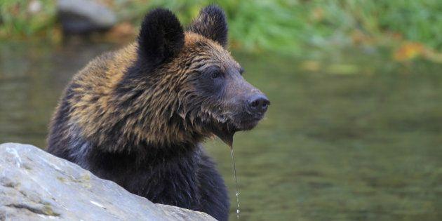 Japan, Hokkaido, Shikaoi-cho, Brown bear in river. (Photo by: JTB Photo/UIG via Getty