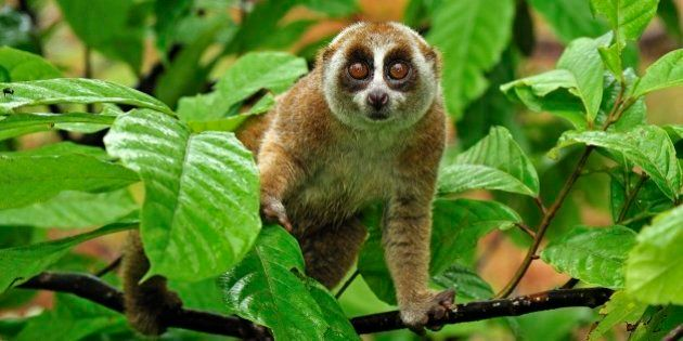 Sunda Slow Loris (Nycticebus coucang), Gunung Leuser National Park, Northern Sumatra,