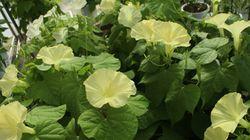 幻の花「黄色いアサガオ」ついに開花成功