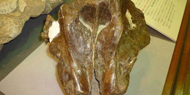 北海道で世界最古のマイルカ化石判明