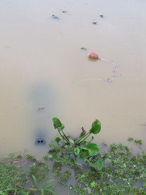 飼育48年のご長寿アマゾンマナティー「ぼくちゃん」に名前を 静岡・熱川バナナワニ園