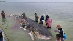 死んだクジラのお腹から大量のプラスチック見つかる。ポリ袋やカップなど1000点以上
