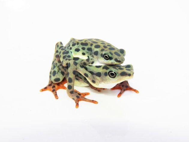 カエル館で撮影された包接の様子。上で抱きついてるのがオスで、どっしり構えているのがメス