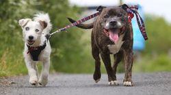 盲目の友達のために、自ら「目」となる犬がいた