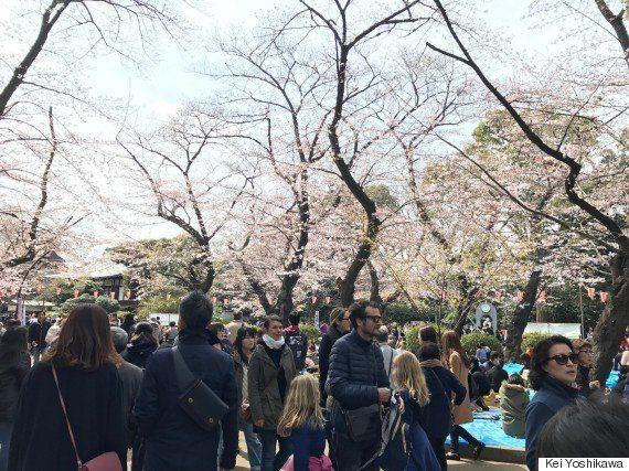 桜が都心で満開に 平年に比べて1日早く
