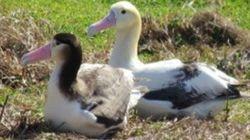 アホウドリ繁殖を小笠原の媒島で確認