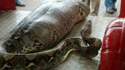 「巨大ニシキヘビが人を丸呑みした写真」は本物か