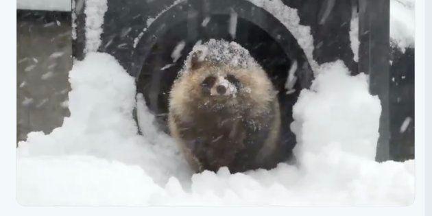 旭山動物園のエゾタヌキ