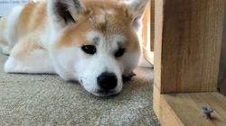ふれあい秋田犬、ストレスで休業中 人気急上昇の裏側で