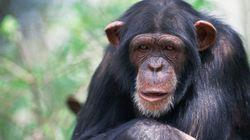 アフリカ類人猿で柔軟な行動発見続々