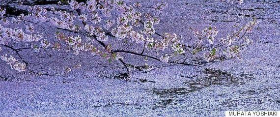 ワシントンの桜が満開 日本からの贈り物が首都を染める【画像】