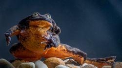 10年間ひとりぼっちだったカエルのロミオ、パートナーが見つかる。世界一孤独な絶滅危惧種