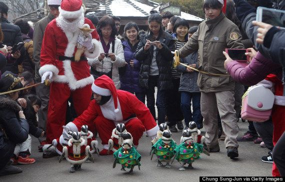 サンタになったペンギンたち(画像)