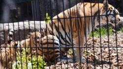 旭山動物園、地元で根強い人気 アムールトラの赤ちゃん公開【画像集】