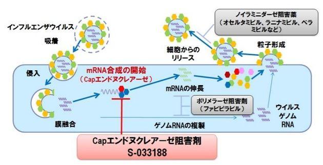 新薬ゾフルーザ(赤色枠)の作用は、細胞に入ったウイルスが中で増えるプロセスを抑える。タミフルやイナビルなどの従来薬(外側の灰色枠)は外に出て行ったウイルスの広がりを抑える