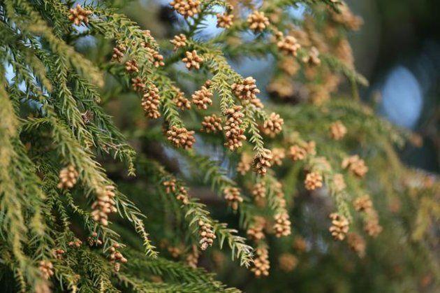 スギ花粉のイメージ画像