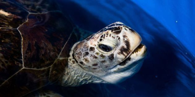 A sea turtle dubbed 'Piggy Bank' comes up for air while swimming in a small sea water pool at the Veterinary...