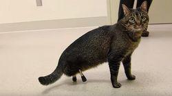 後ろ足を忘れてきたネコ。海賊風の3Dプリント義足を得て、待合室をひょこひょこと散歩(動画あり)