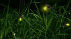 ホタルはLED光好き、誘引・同調発光