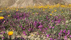 カリフォルニアの砂漠一面に咲き乱れる花 秋冬の雨で長年の干ばつが解消される