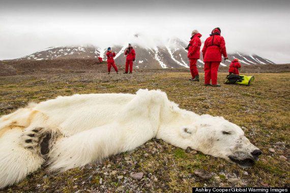 氷のない北極圏:餓死するホッキョクグマ(写真)