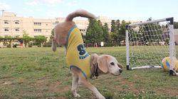 ワールドカップに負けないスーパープレーを見せるビーグル犬(動画)