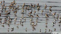 有明海、渡り鳥たちの干潟を「世界の保護湿地」に 鹿島市15年の軌跡