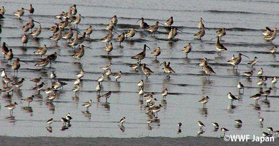 有明海、渡り鳥たちの干潟を「世界の保護湿地」に!鹿島市15年の軌跡
