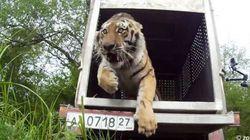 野生復帰したトラが自然に順応していることを確認