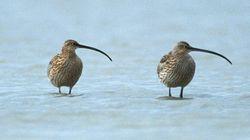 ホウロクシギなど渡り鳥の絶滅危機のレベルが上昇