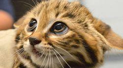 「世界最小の猫」三つ子の赤ちゃんが可愛いすぎる(動画)