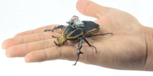昆虫をドローンにすることに成功 カナブンを遠隔操作(動画)