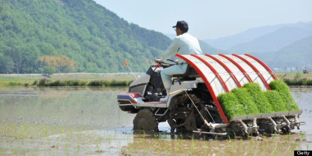 Man of senior citizens are working as farmers,Japan,Hyogo,Toyooka city.Man planting rice using a